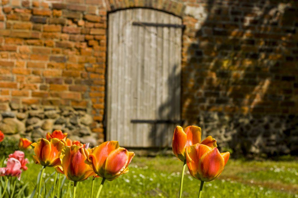 Luckau_Stadtmauer und Tulpen